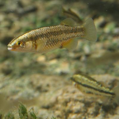 crenichthys baileyi grandis