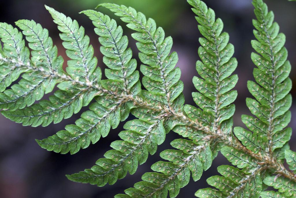 ctenitis squamigera
