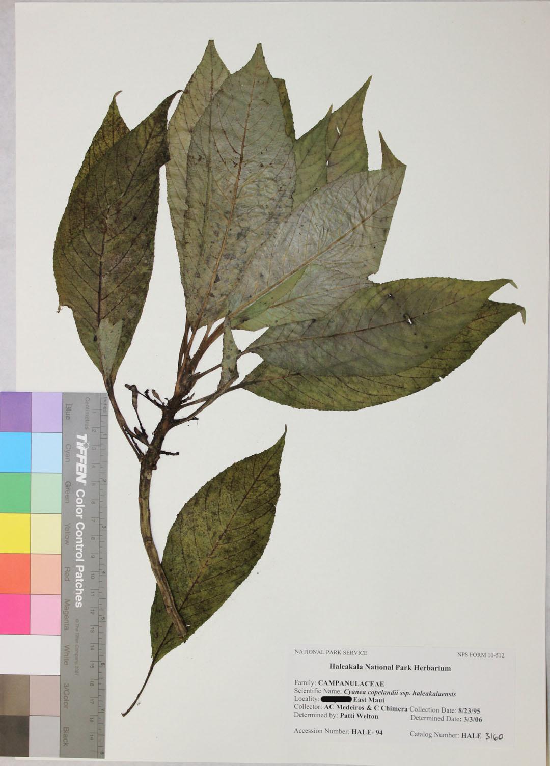 cyanea copelandii ssp haleakalaensis