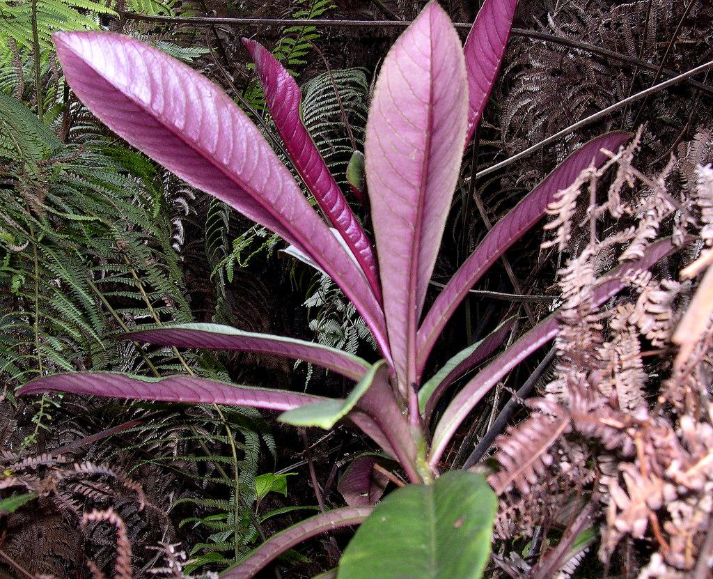 cyanea purpurellifolia