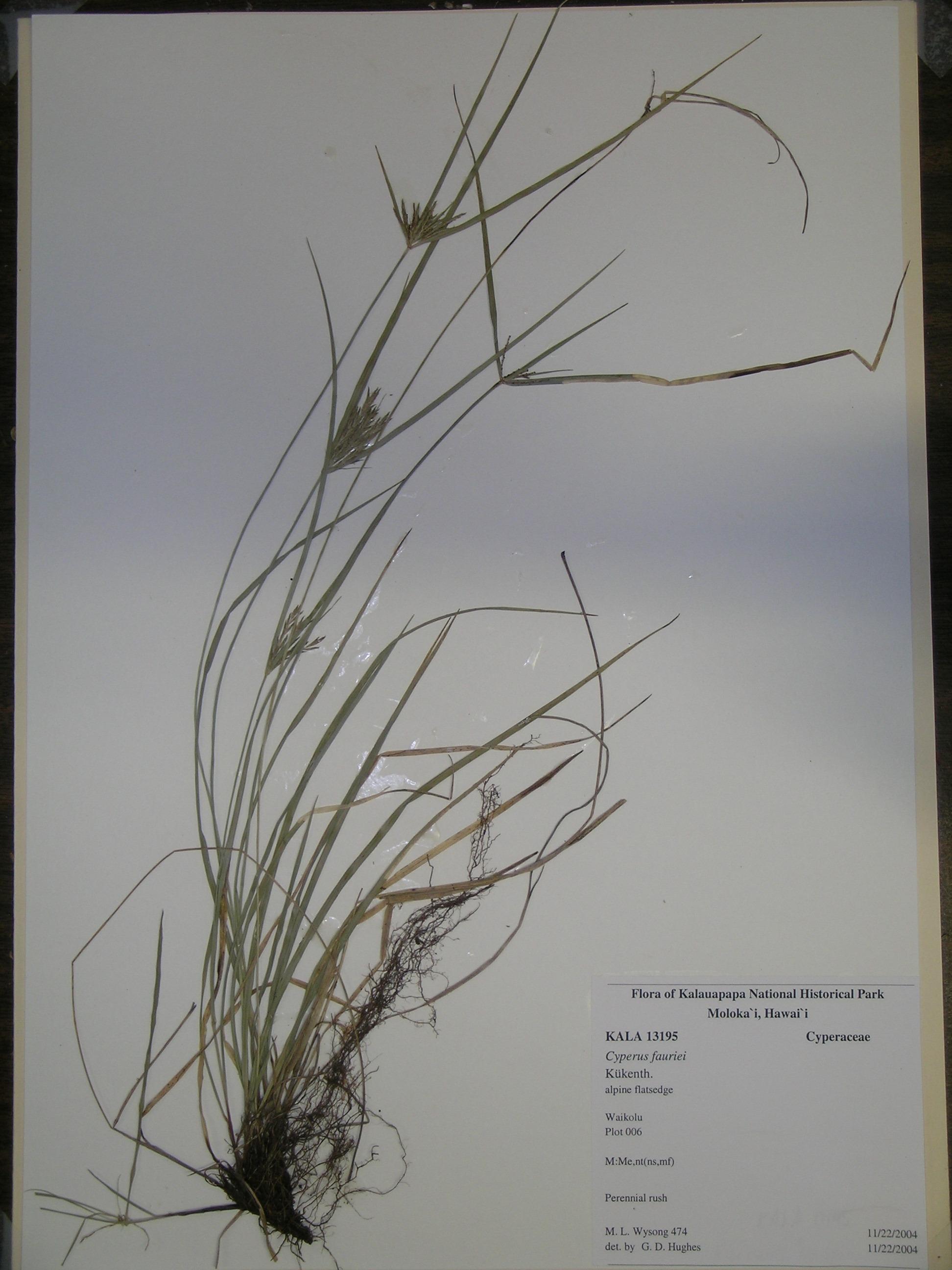 cyperus fauriei