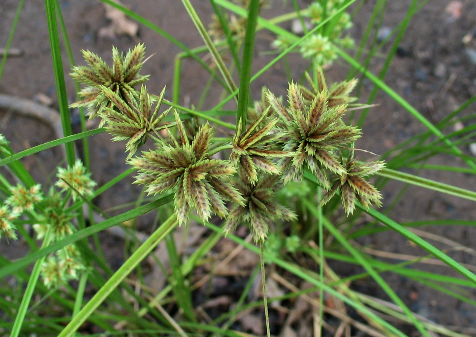 cyperus trachysanthos