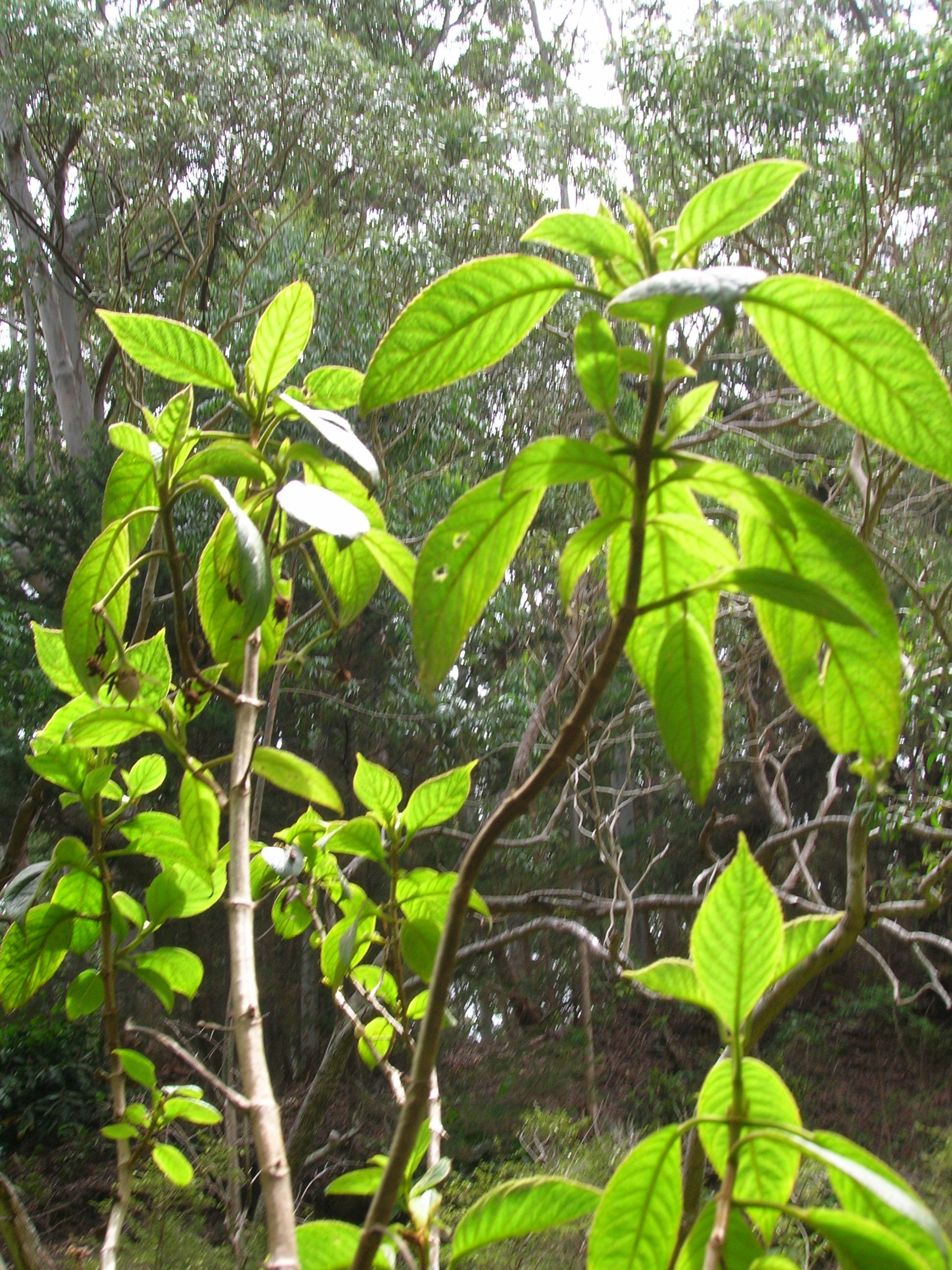 cyrtandra crenata