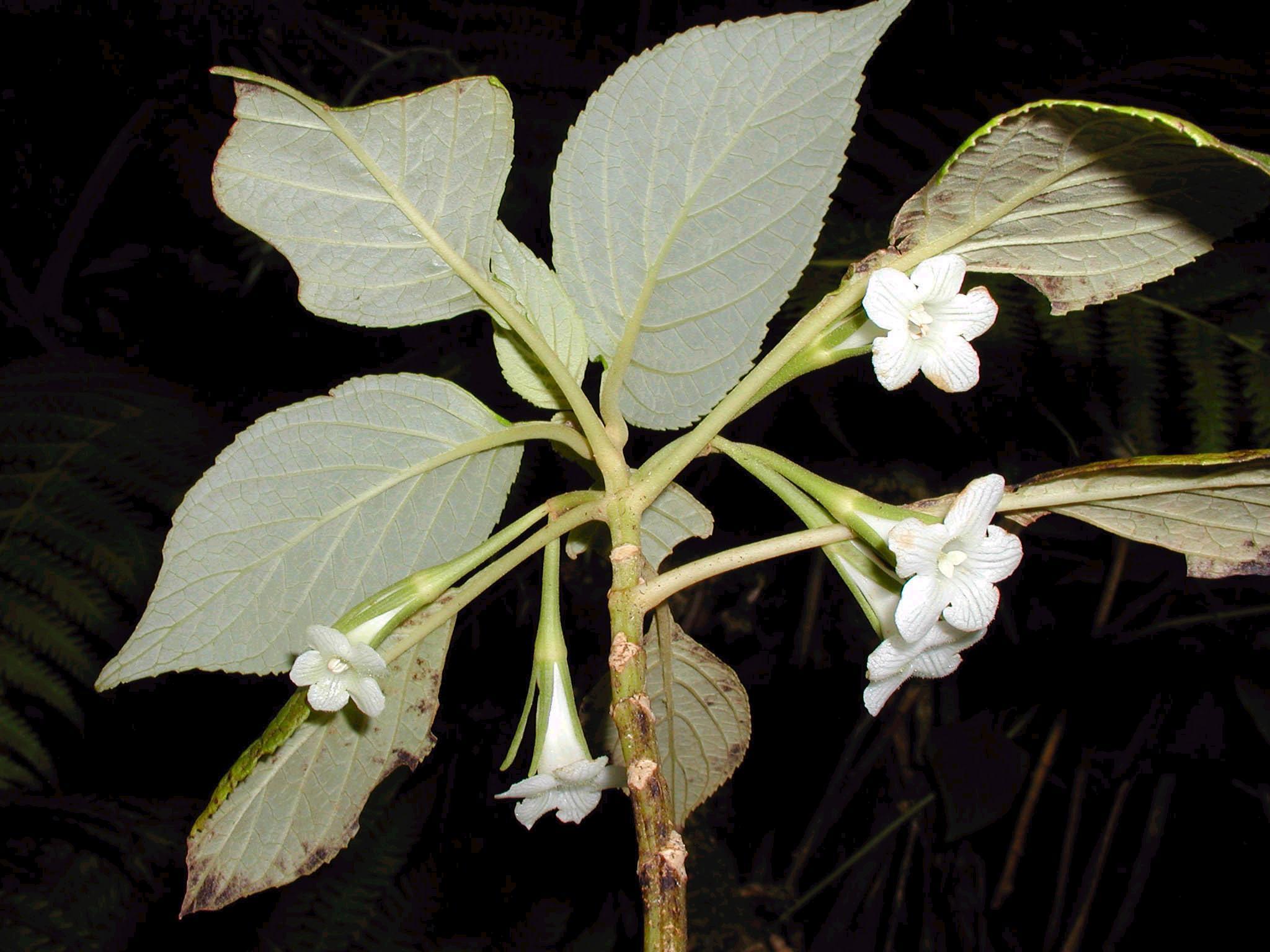 cyrtandra gracilis