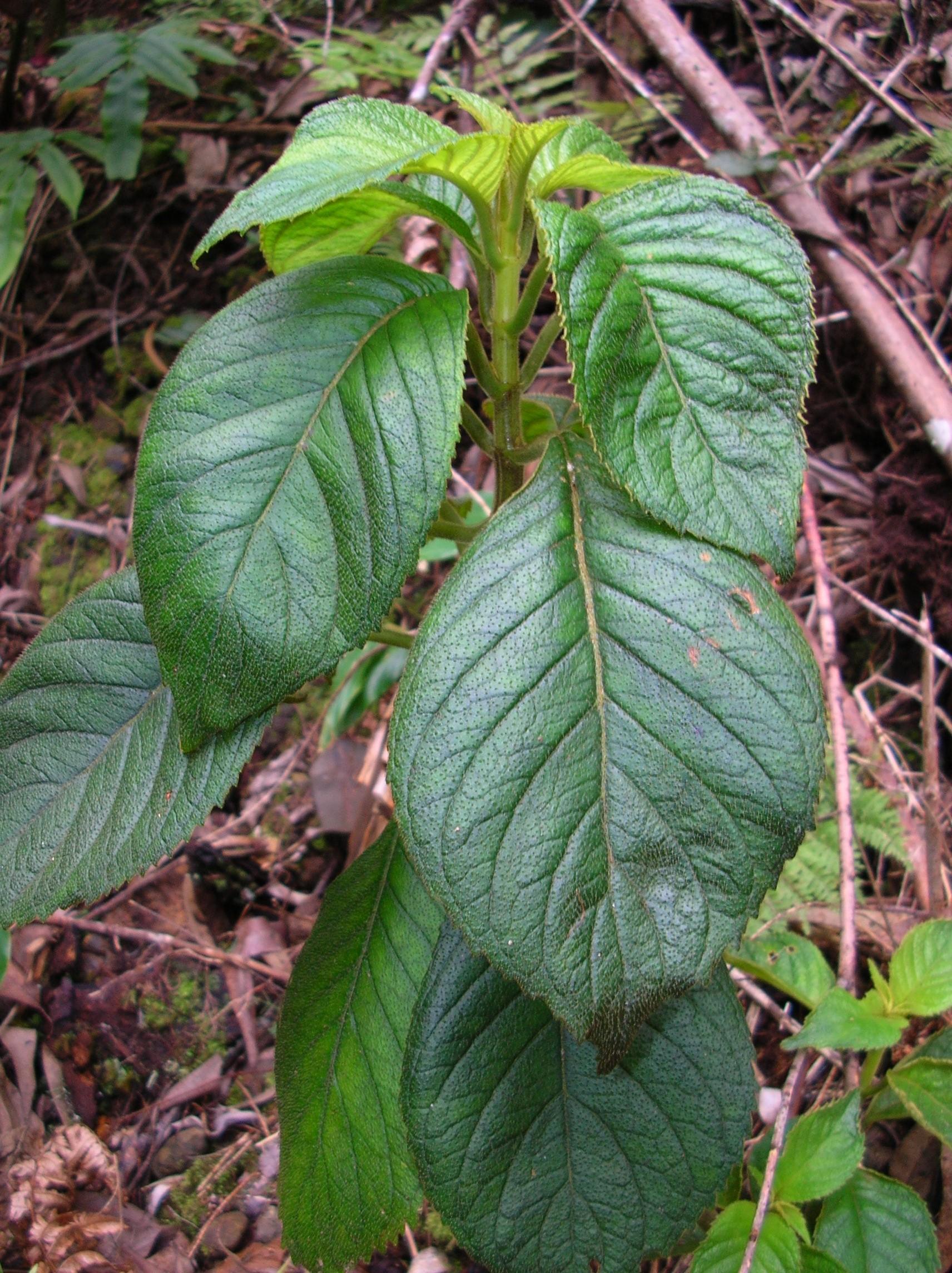 cyrtandra oenobarba