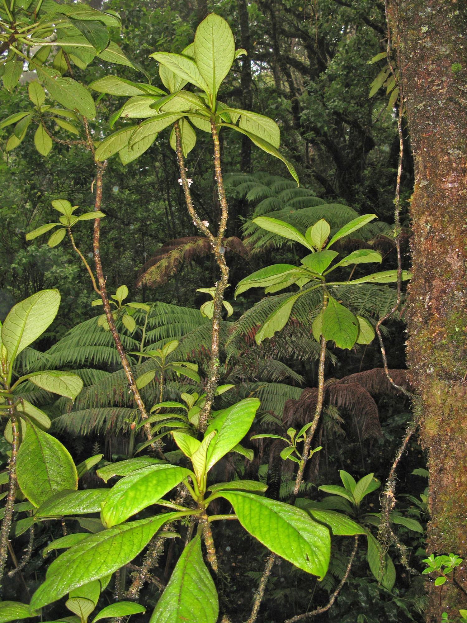cyrtandra wagneri