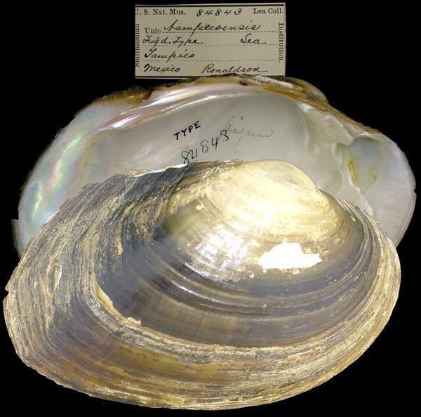 cyrtonaias tampicoensis tecomatensis