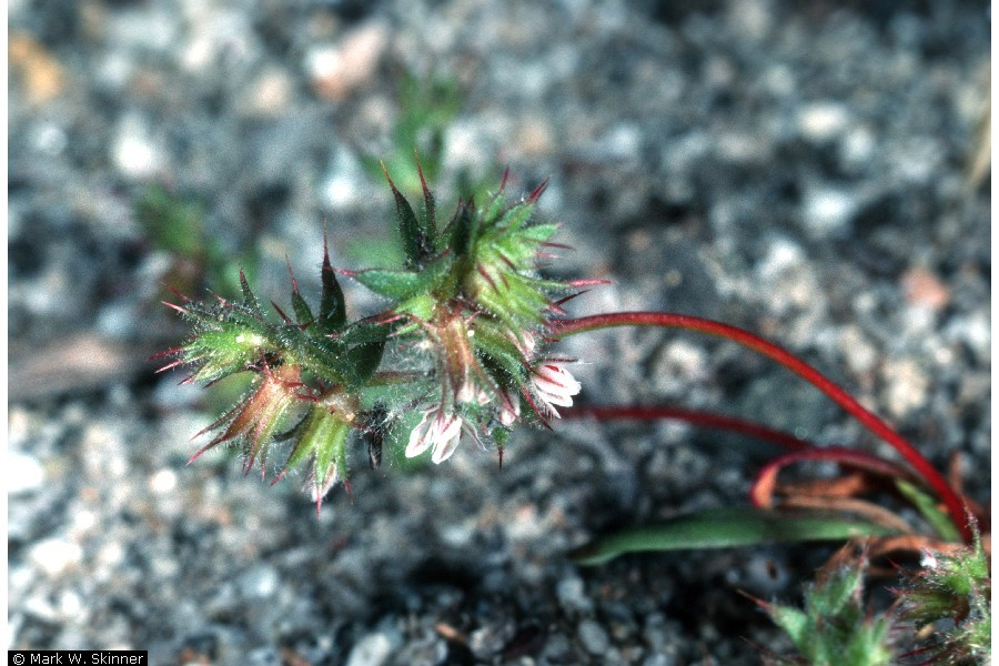 dodecahema leptoceras