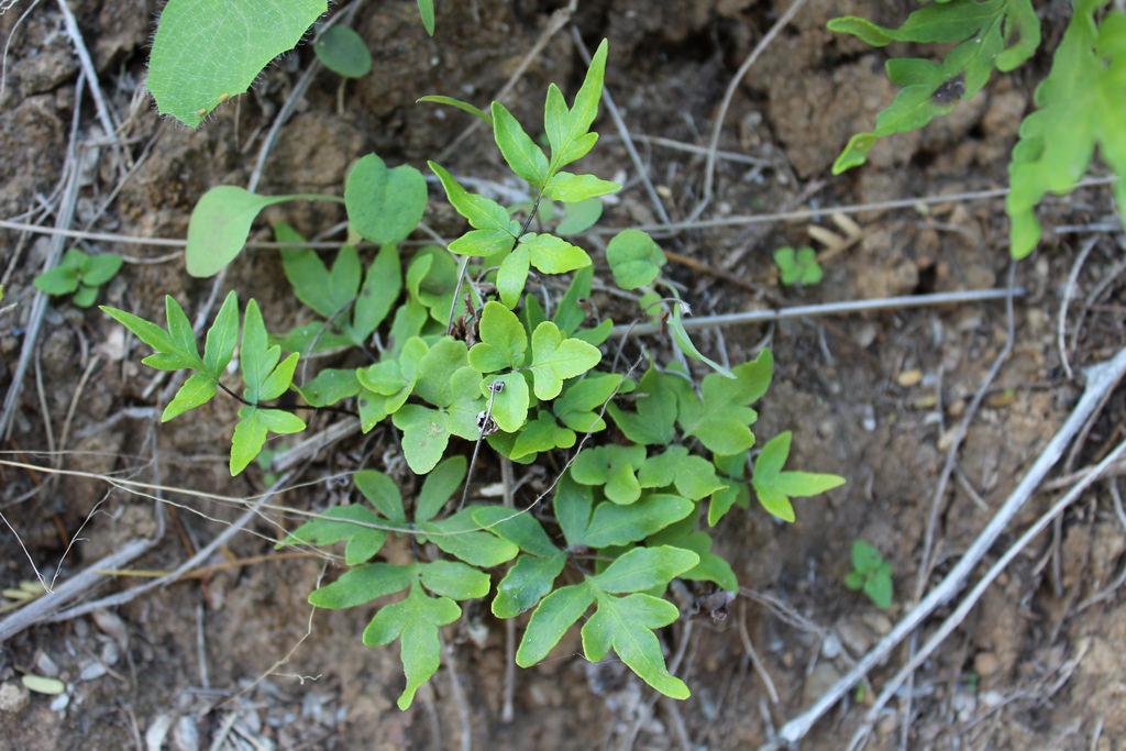 doryopteris takeuchii