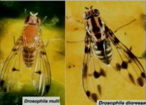 drosophila mulli