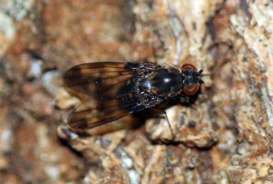 drosophila musaphilia