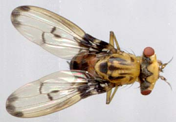 drosophila sharpi