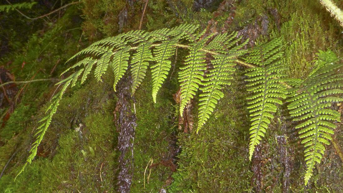dryopteris crinalis var podosorus