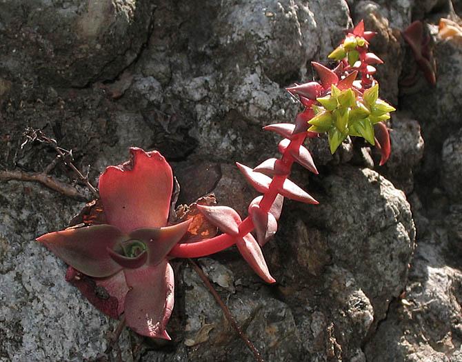dudleya cymosa ssp ovatifolia