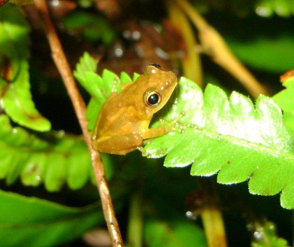 eleutherodactylus juanariveroi