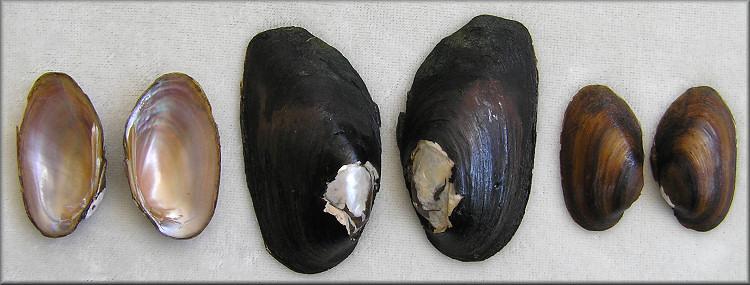 elliptio chipolaensis