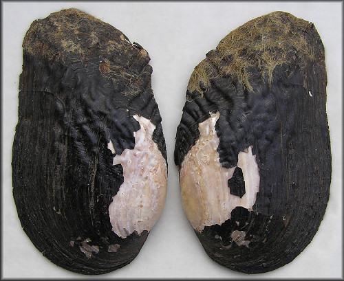 elliptoideus sloatianus