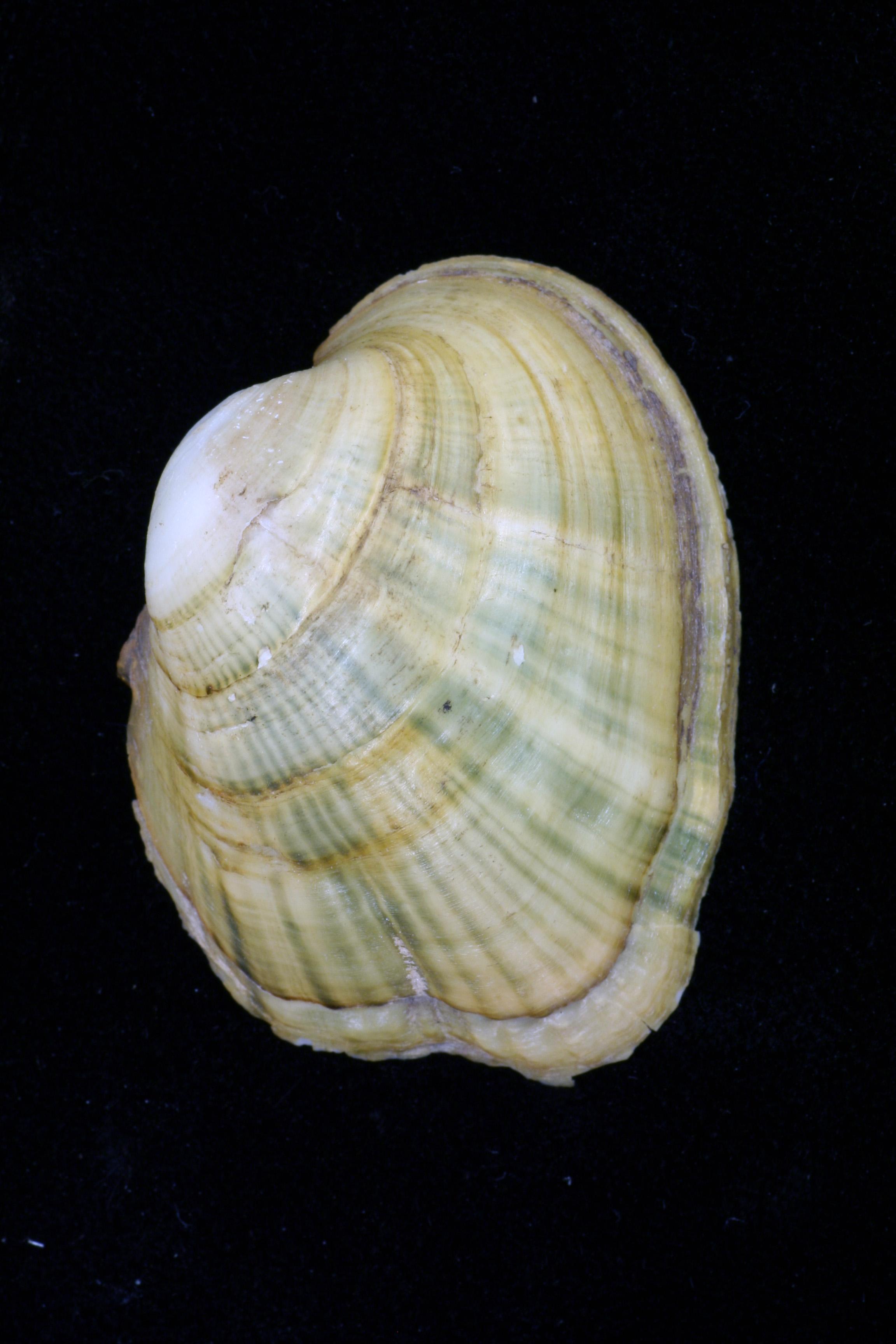 epioblasma obliquata perobliqua