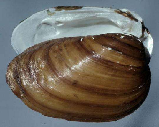 epioblasma othcaloogensis
