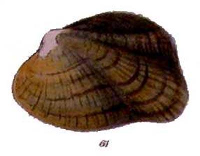 epioblasma turgidula