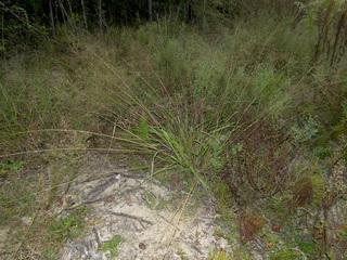 eragrostis fosbergii