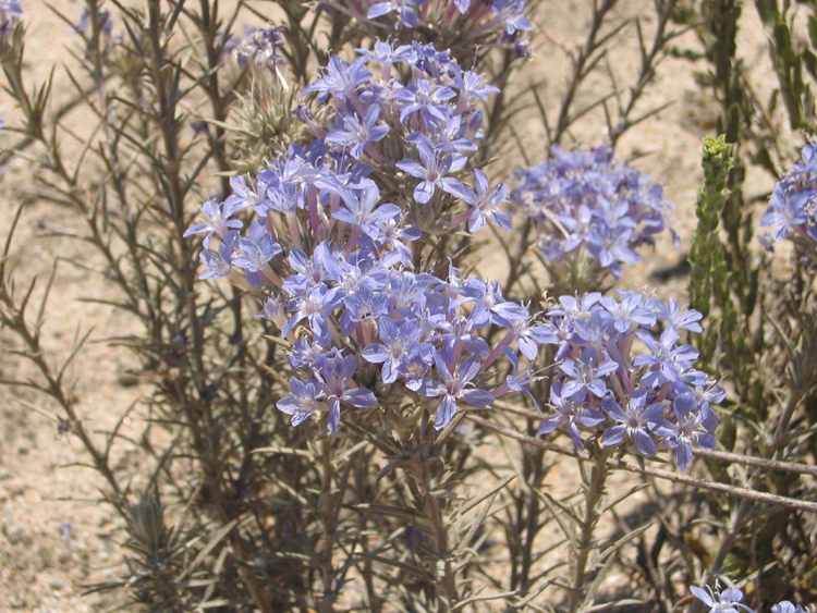 eriastrum densifolium ssp sanctorum