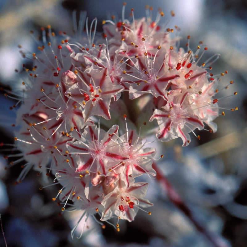 eriogonum ovalifolium var vineum