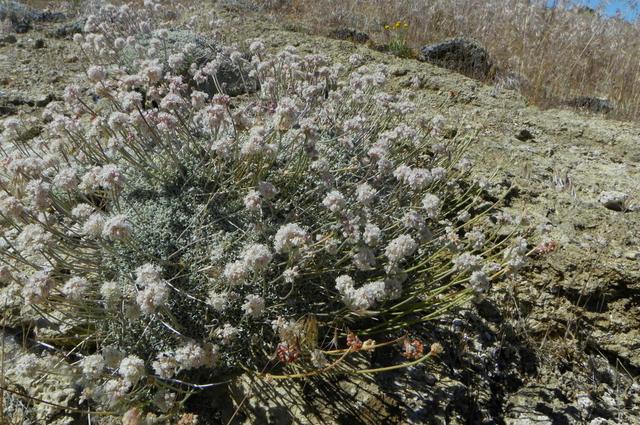 eriogonum ovalifolium var williamsiae