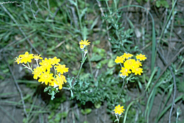 eriophyllum latilobum