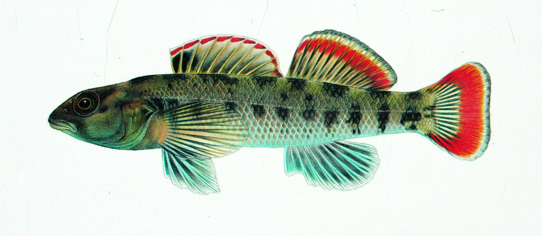 etheostoma etowahae