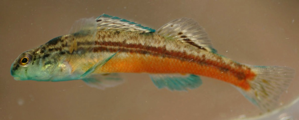 etheostoma sp
