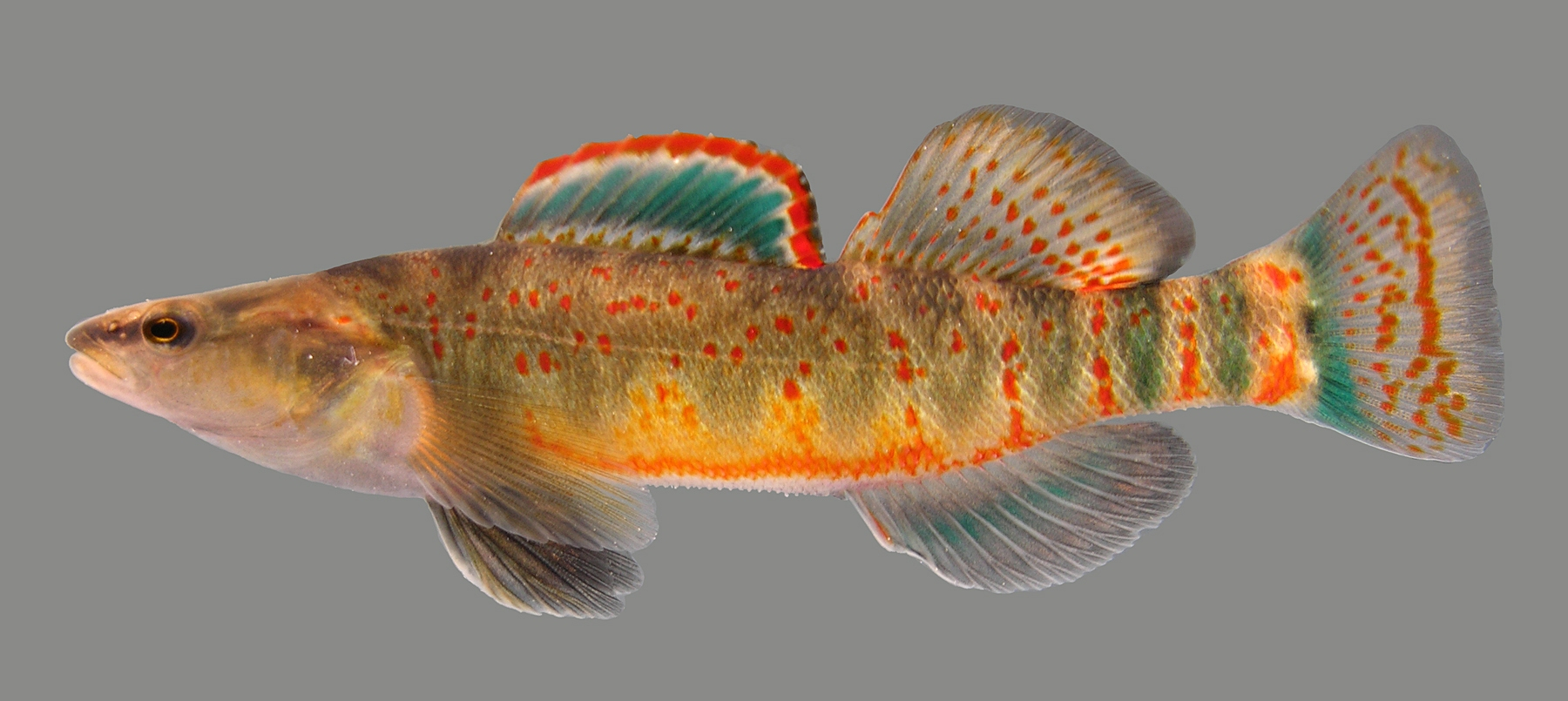 etheostoma spilotum