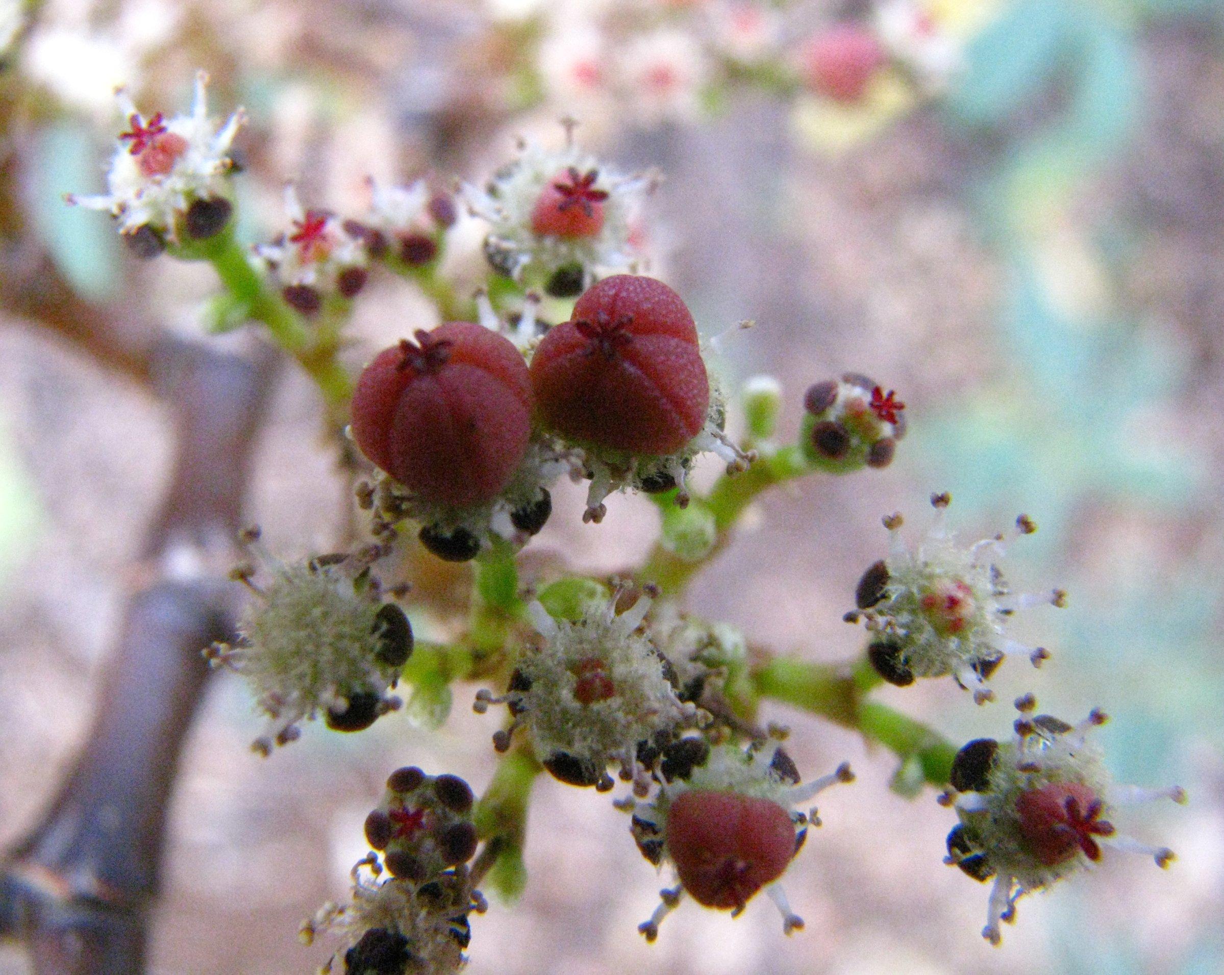 euphorbia celastroides var kaenana