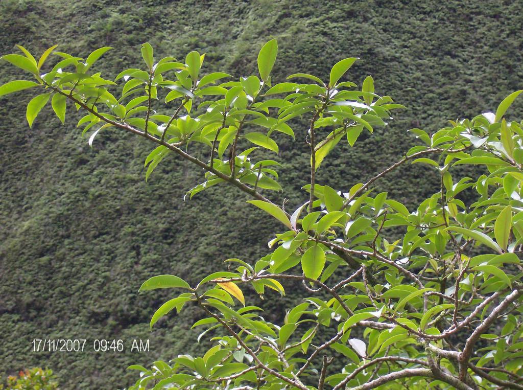 euphorbia remyi var kauaiensis