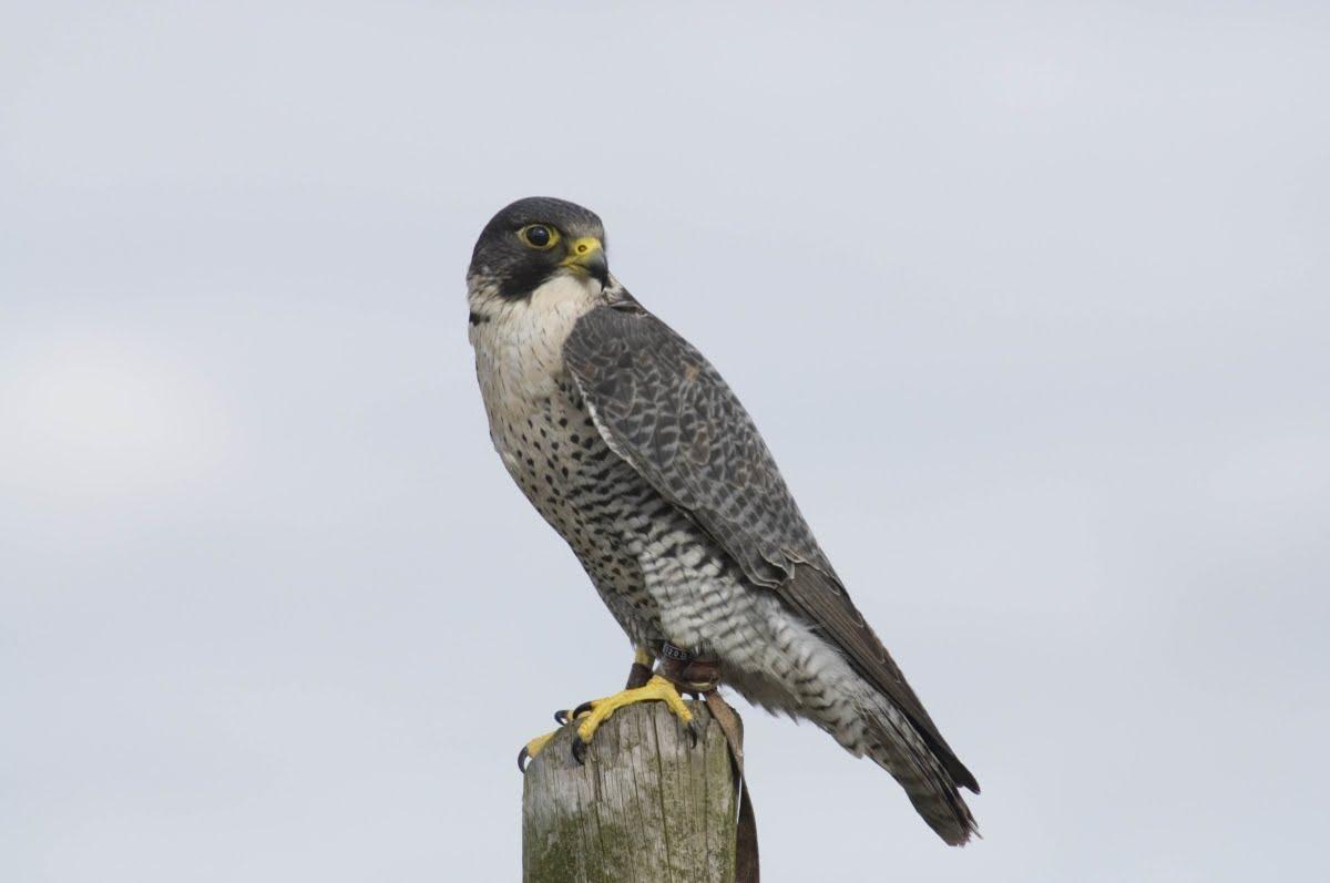 falco peregrinus peregrinus