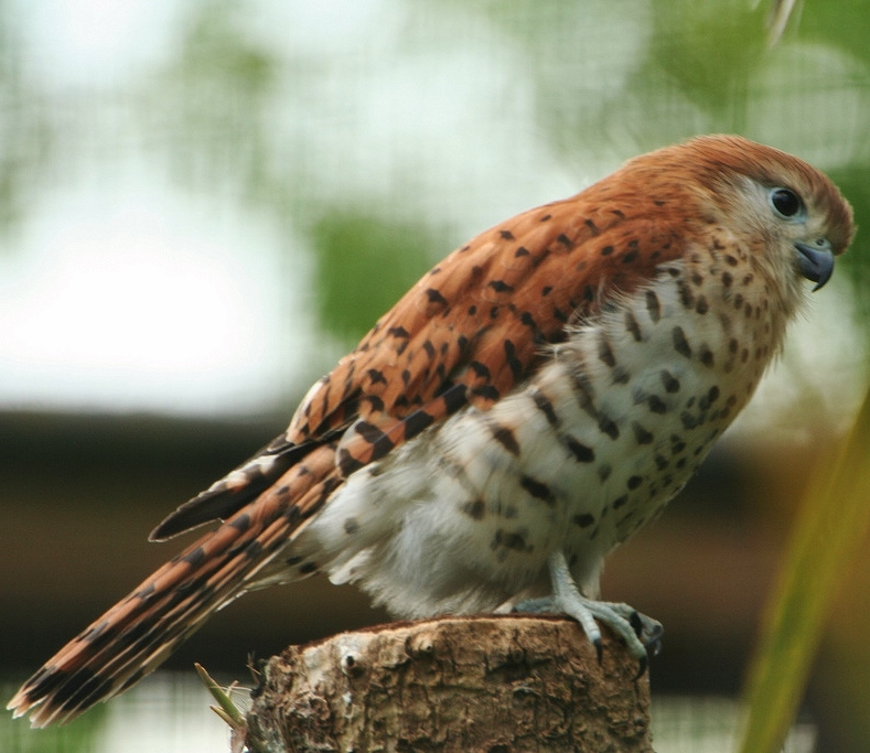 falco punctatus