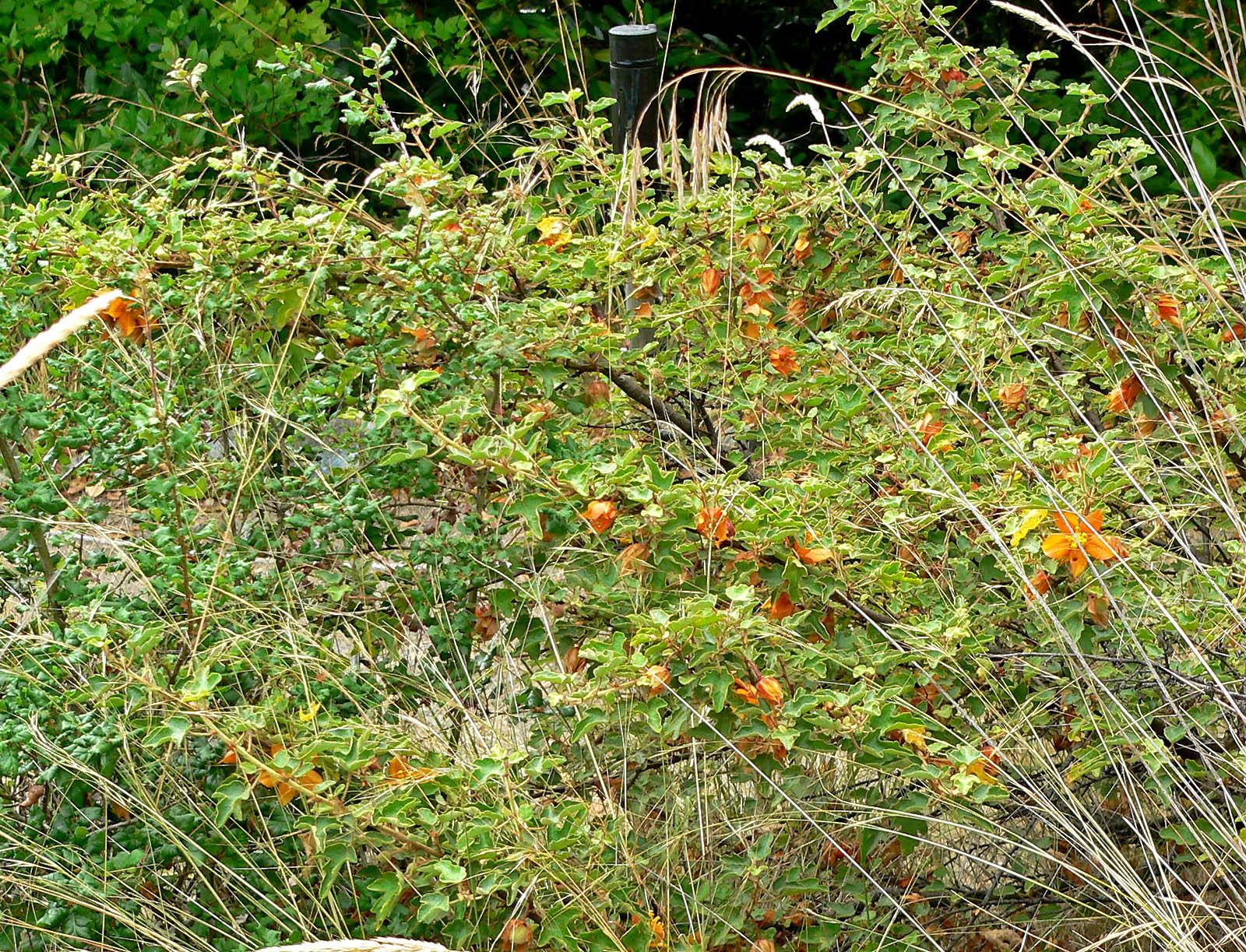 fremontodendron californicum ssp decumbens