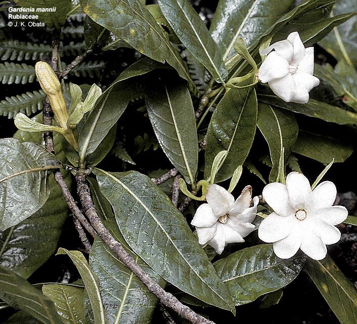 gardenia mannii