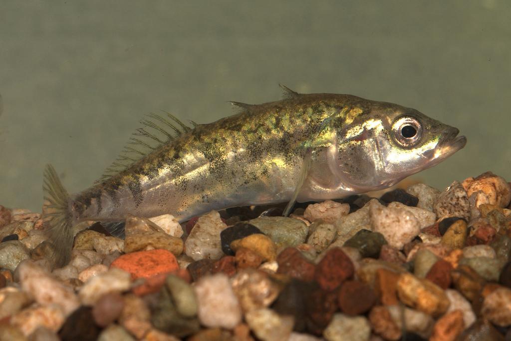gasterosteus aculeatus williamsoni