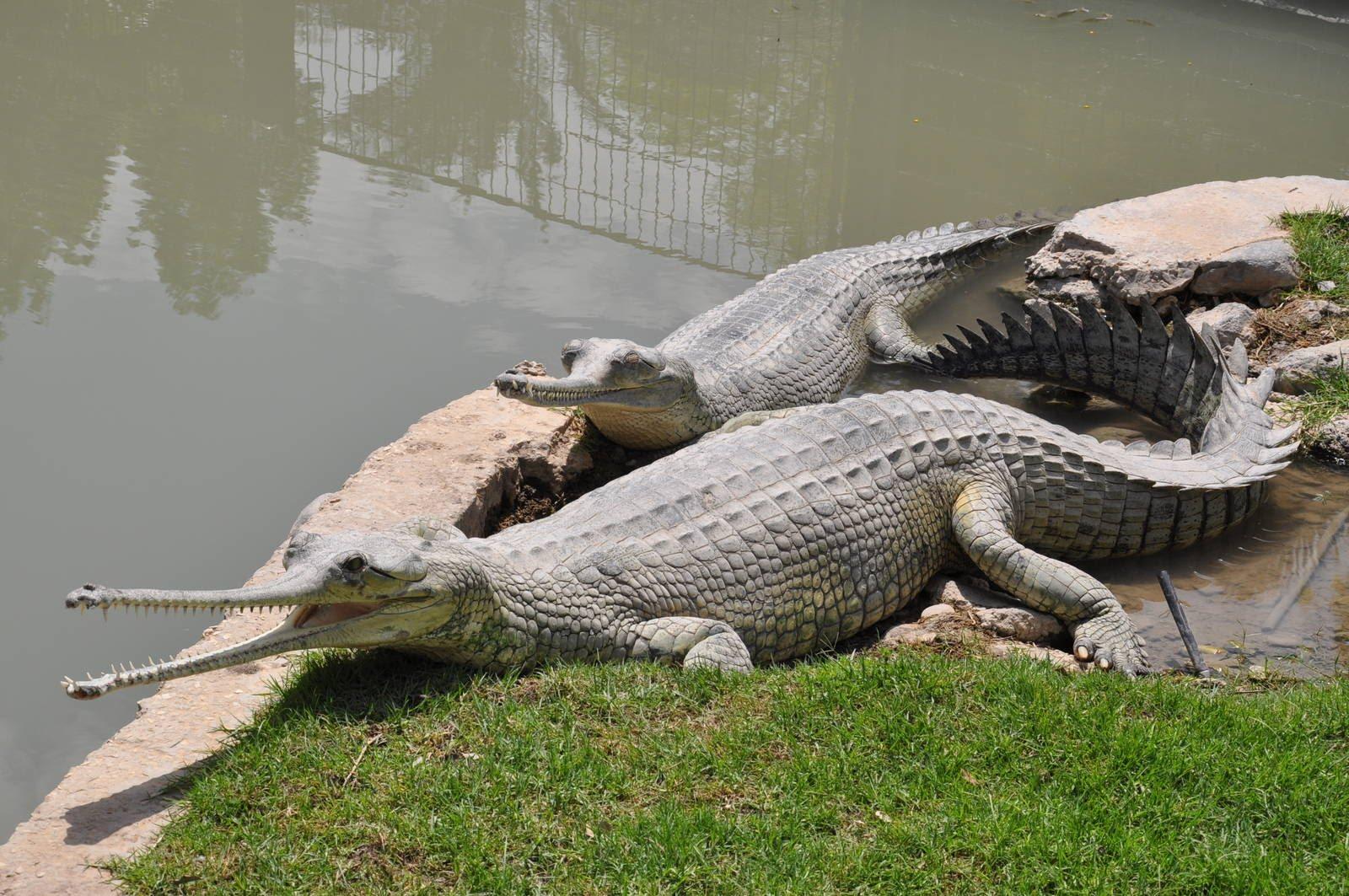 gavialis gangeticus