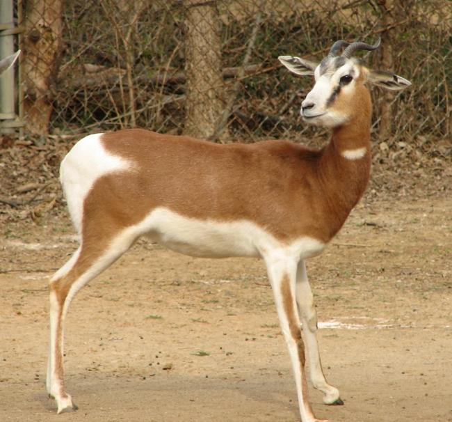 gazella dama lozanoi