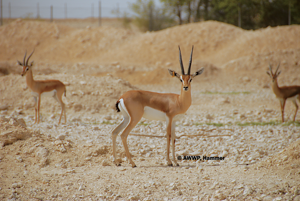 gazella dorcas pelzelni