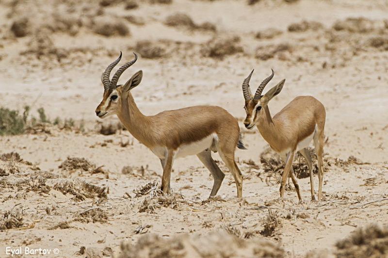 gazella dorcas saudiya