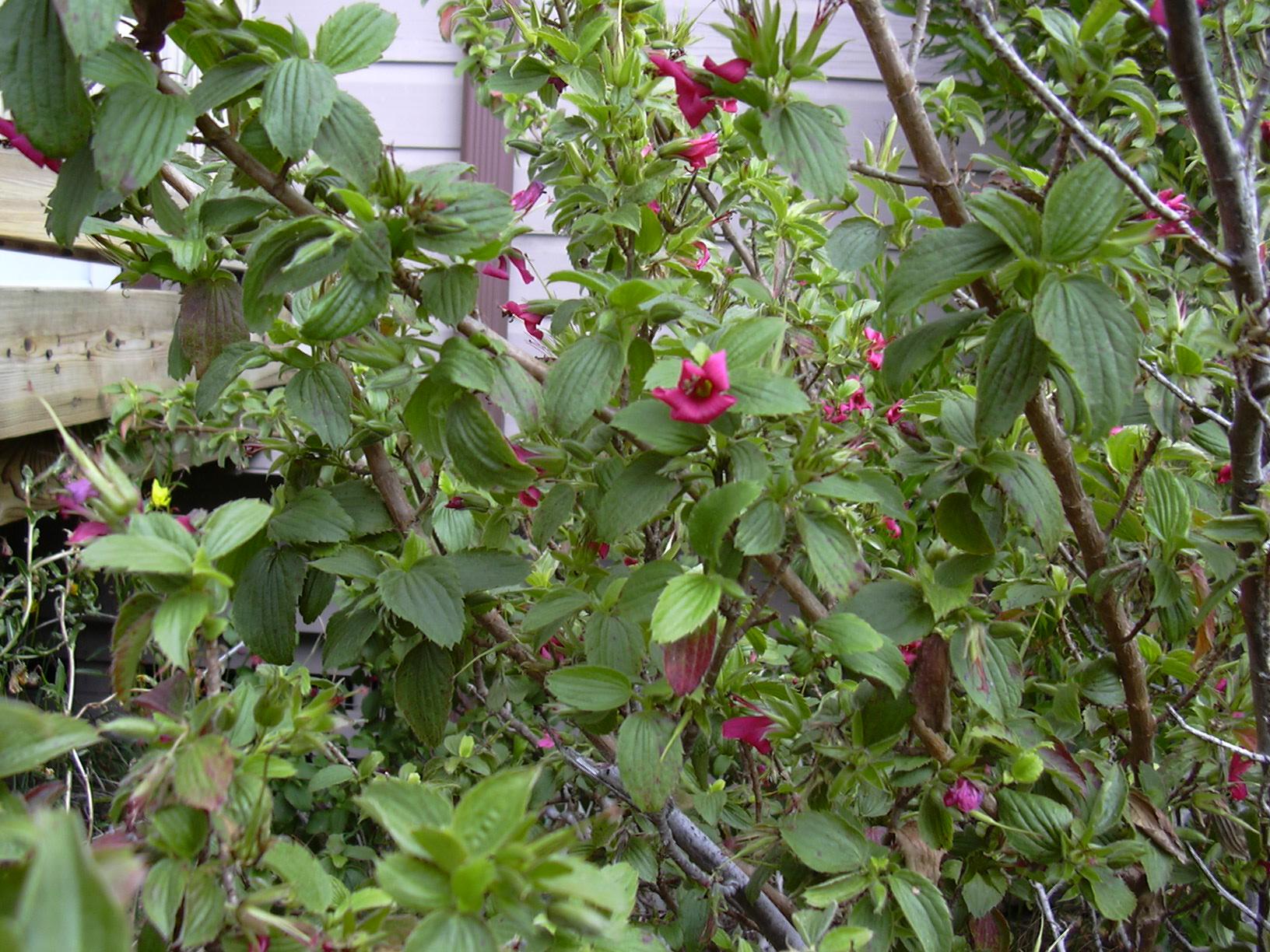 geranium arboreum