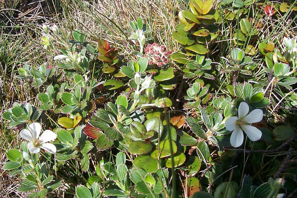 geranium hillebrandii