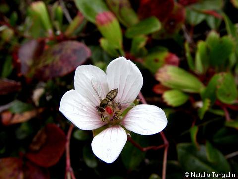geranium kauaiense