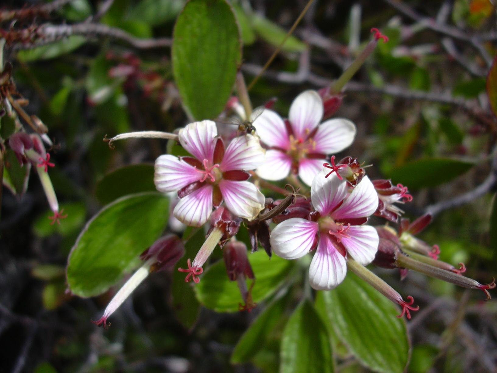 geranium multiflorum