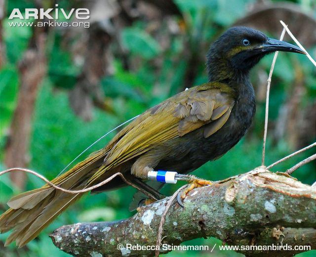 gymnomyza samoensis