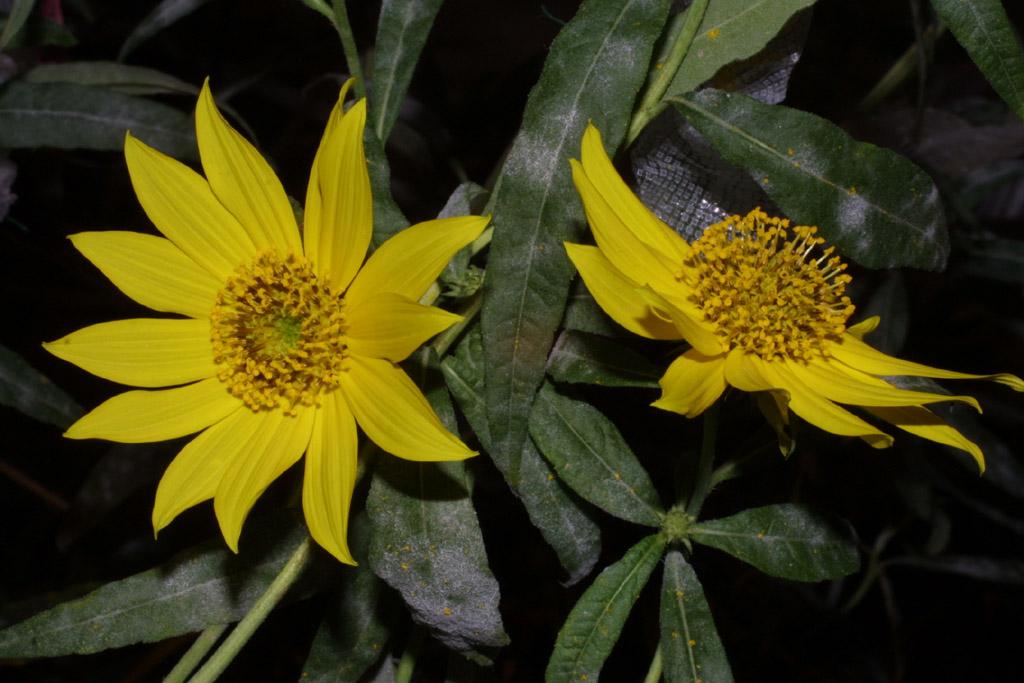 helianthus verticillatus