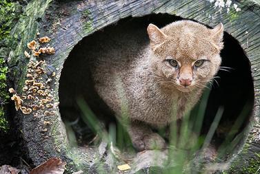 herpailurus felis yagouaroundi cacomitli